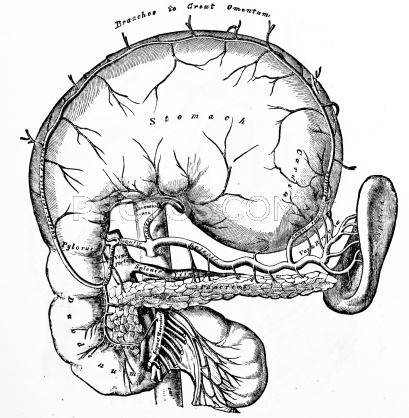 409x418 An Antique Medical Illustration Of The Stomach Stomach