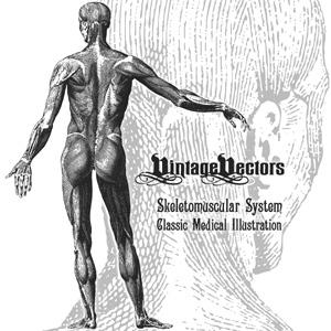 300x300 Skeletomuscular System Medical Illustration Vector