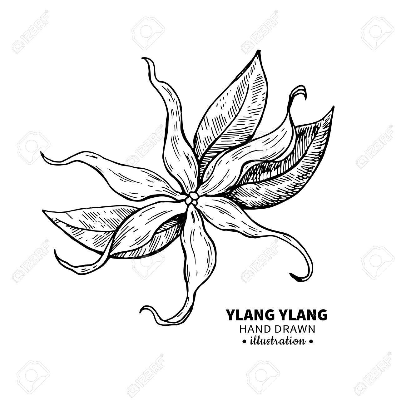 1300x1300 Ylang Ylang Vector Drawing. Isolated Vintage Illustration