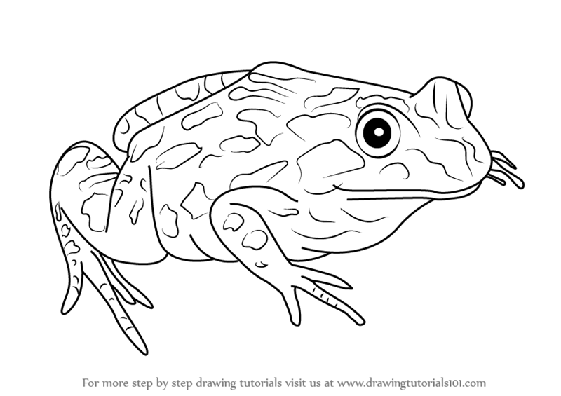 800x565 Learn How To Draw A Spotted Marsh Frog (Amphibians) Step By Step