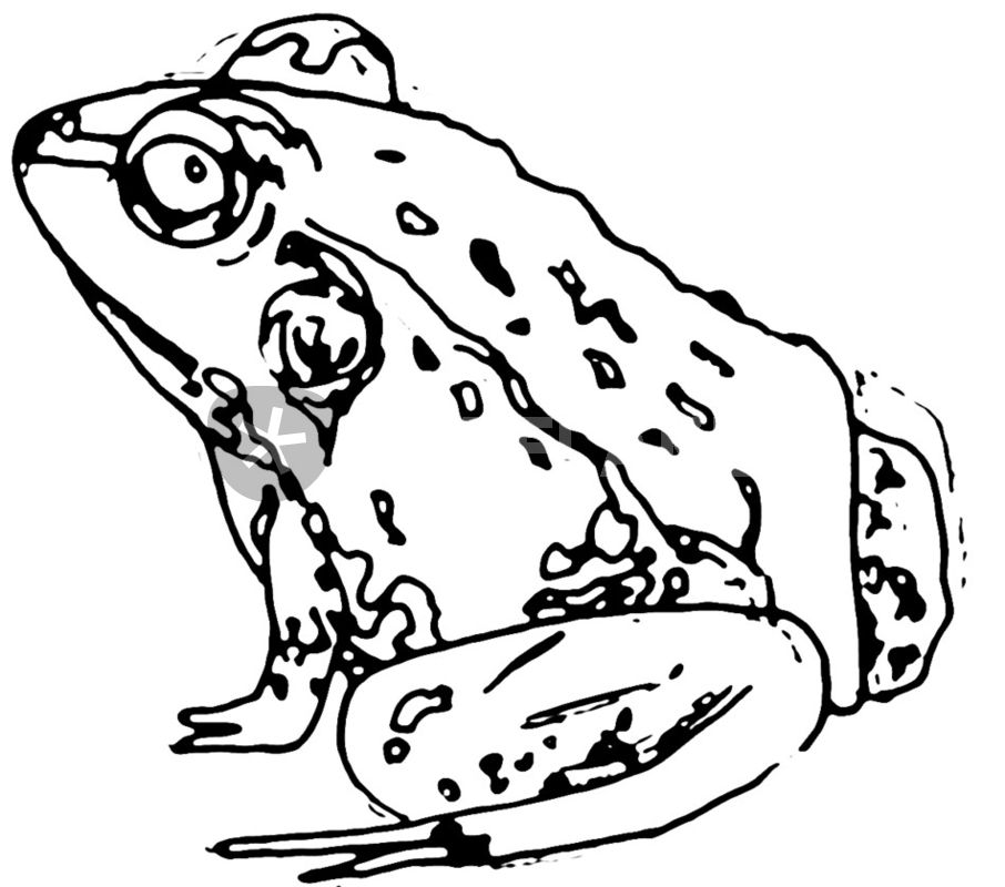 906x800 Frog Drawing Art Prints And Posters By C Lee