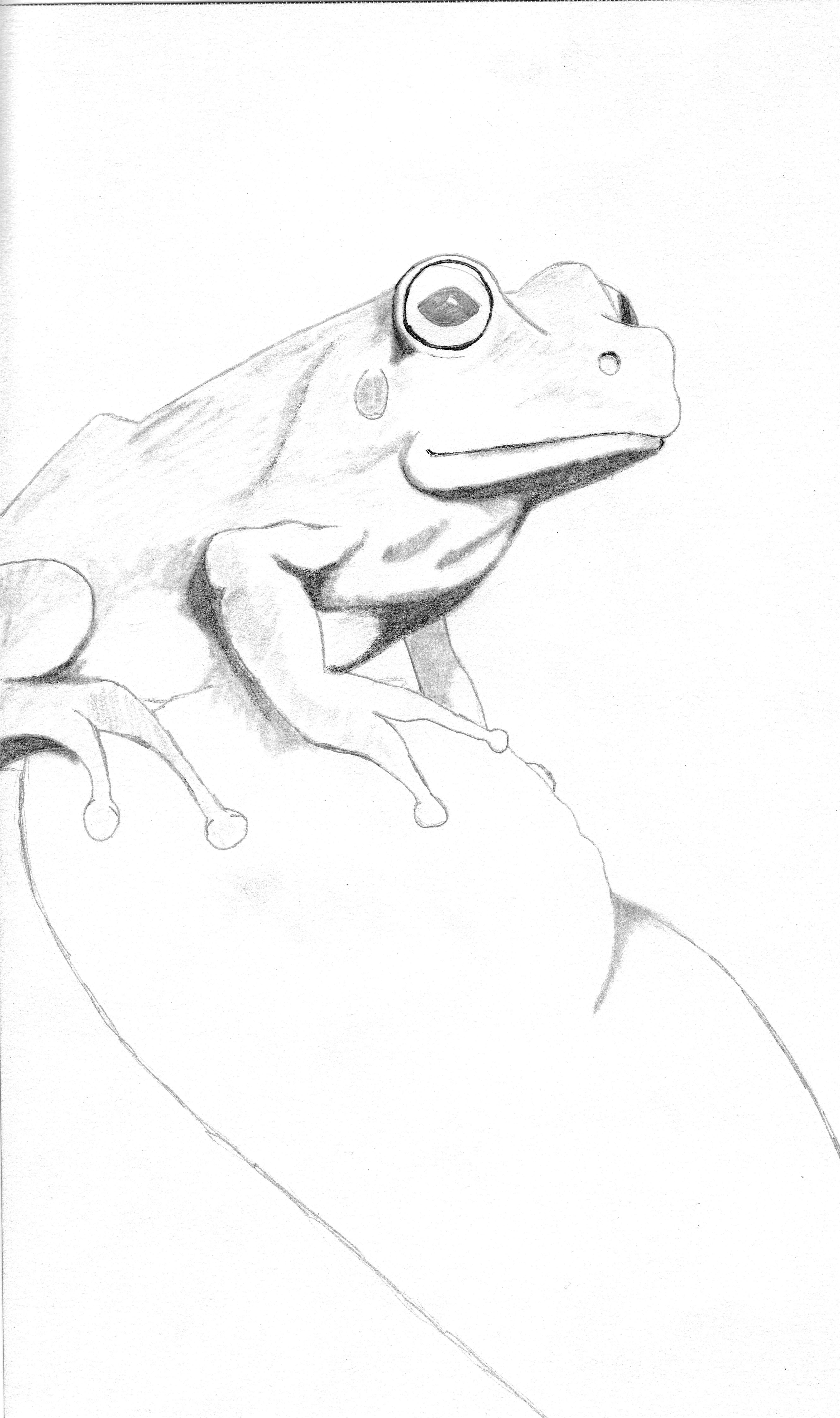 4060x6851 Frog Pencil Drawing By Liquidsnake2021