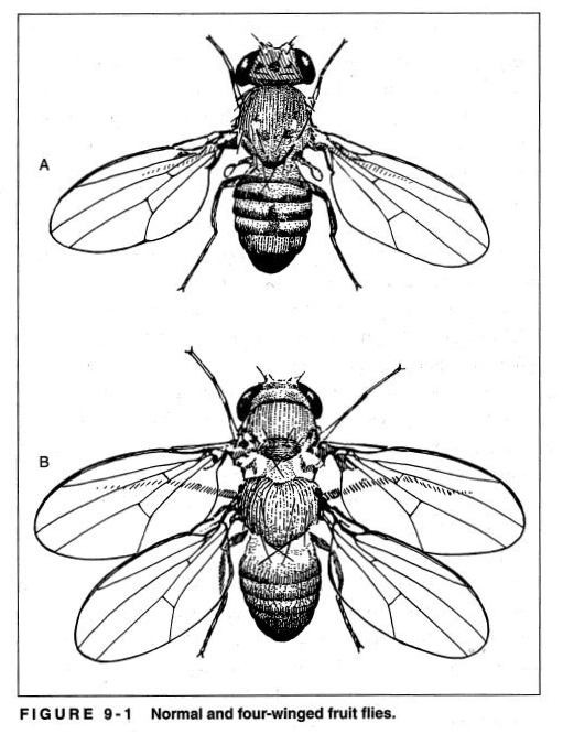 Fruit Fly Drawing