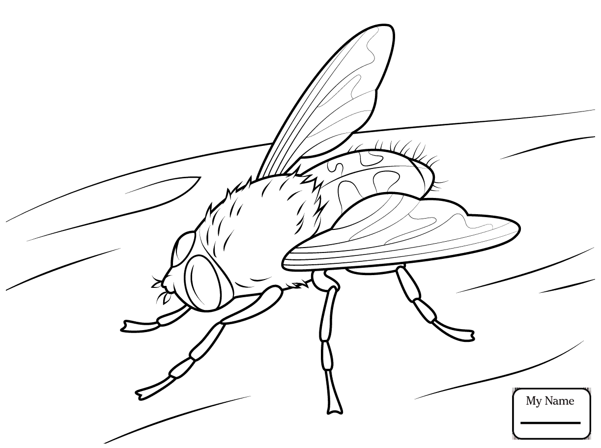 1223x912 Drosophila Fruit Fly Insects Fly Coloring Pages