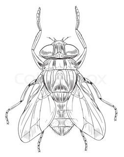 253x320 Fly Drawing Against White Stock Vector Colourbox
