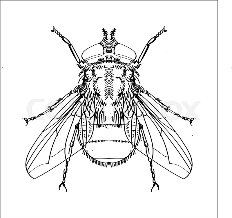 800x750 Hand Drawn Sketch Of Fly Isolated, Black And White Cartoon Vector