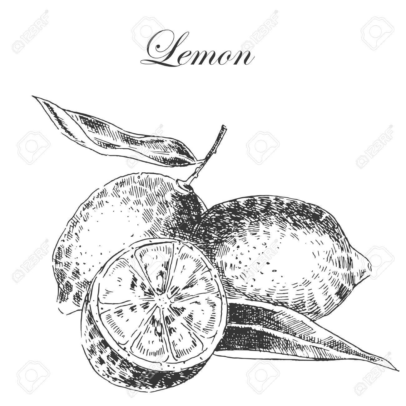 1300x1300 Vector Lemon Citrus Hand Drawn Sketch In Ink And Pencil. Retro