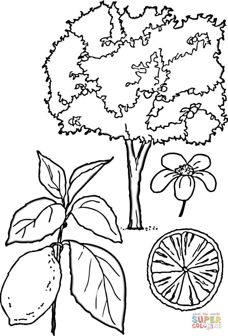 750x1101 Lemons Tree Coloring Page Free Printable Pages