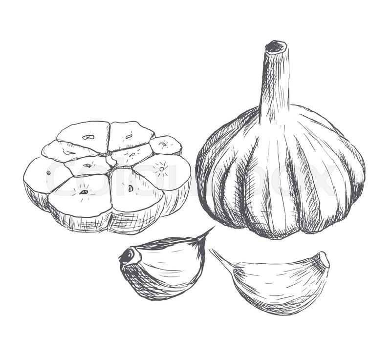 800x727 Hand Drawn Raw Garlic Sketch. Vector Illustration Stock Vector
