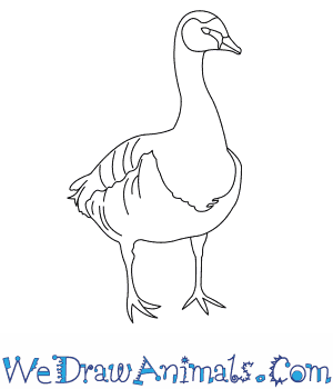 300x350 How To Draw A Barnacle Goose