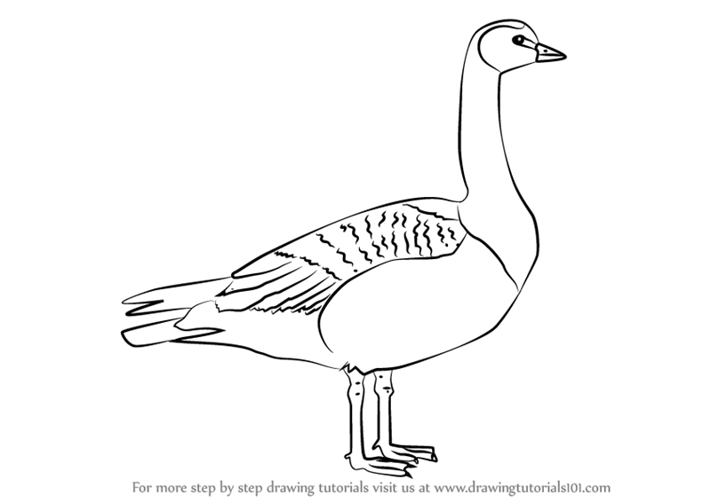 800x567 Learn How To Draw A Barnacle Goose (Birds) Step By Step Drawing