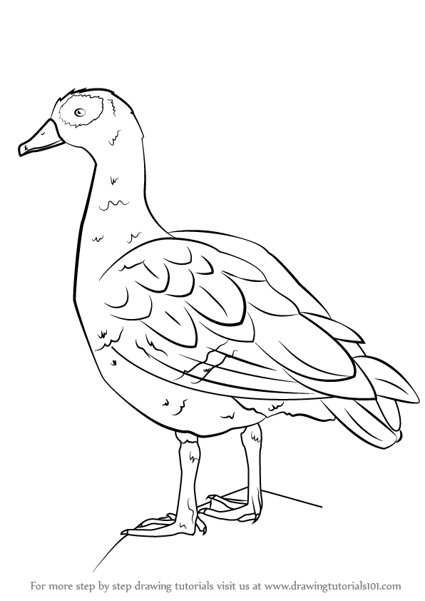 596x842 Learn How To Draw An Egyptian Goose (Birds) Step By Step Drawing