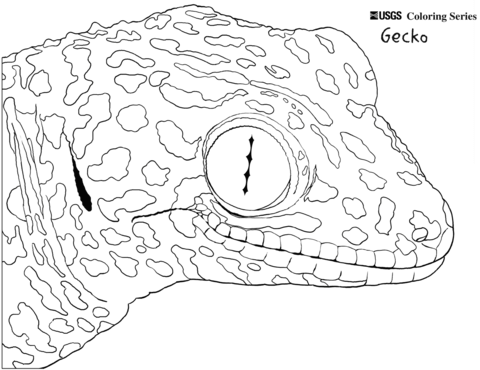 480x370 Common Tokay Gecko Coloring Page Free Printable Coloring Pages