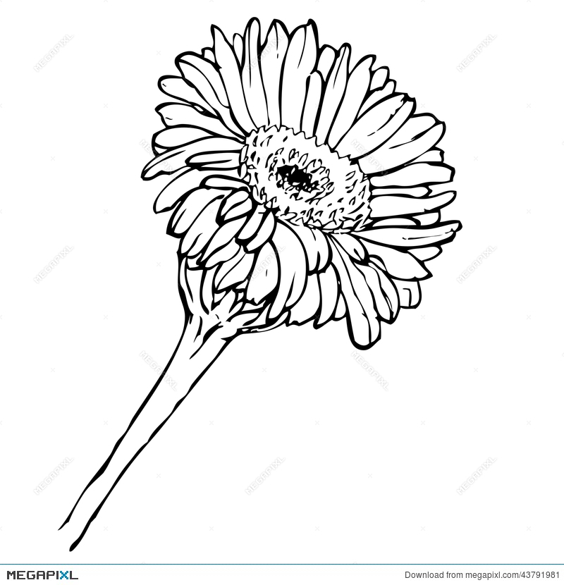 Gerber Daisy Drawing at GetDrawings.com | Free for personal use ...