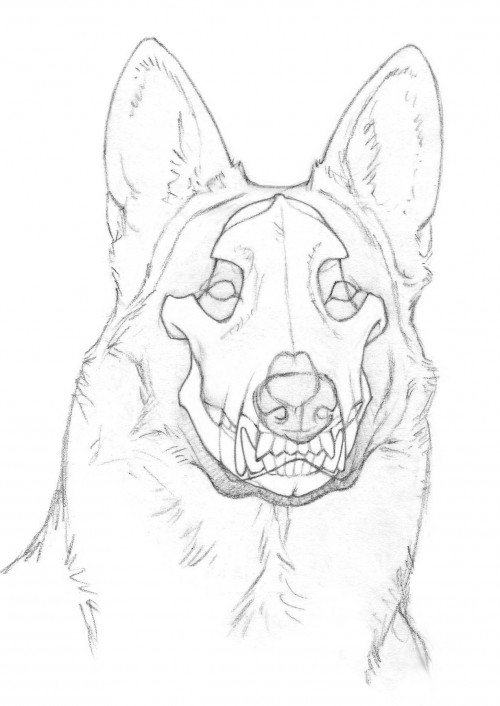 German Shepherd Face Drawing
