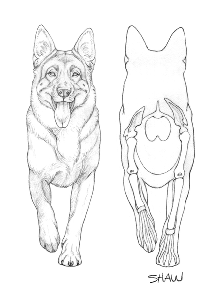 450x601 General Overview Of The German Shepherd Dog