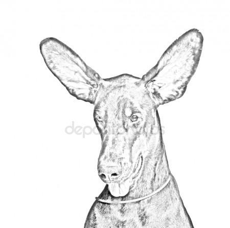 450x446 Doberman Dog Pencil Drawing Portrait Stock Photo Gsdonlin