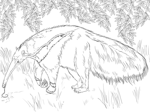 480x360 Giant Anteater Watching To Food And Eating Coloring Page