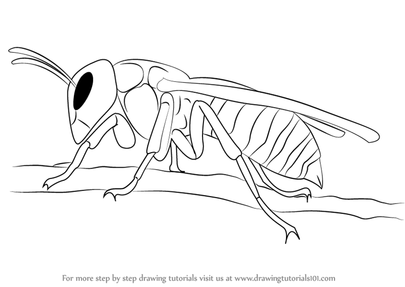 800x568 Learn How To Draw A Asian Giant Hornet (Insects) Step By Step