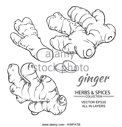 520x540 Ginger Root Drawing Black And White Stock Photos Amp Images