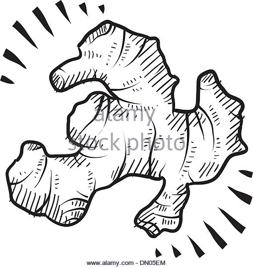 510x540 Ginger Root Drawing Stock Photos Amp Ginger Root Drawing Stock