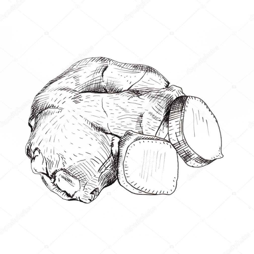 1023x1023 Ginger Root Ink Sketch Stock Photo Awispa