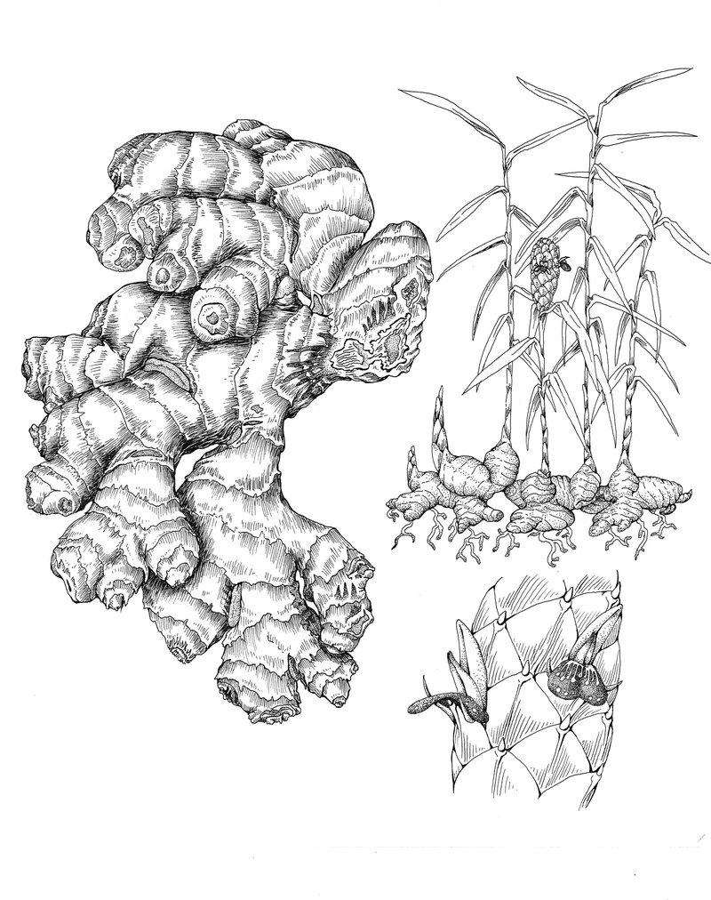 800x1012 Botanical Root Drawing