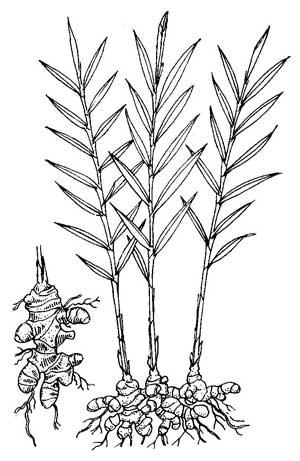 300x461 Ginger Root Medicinal Drawing