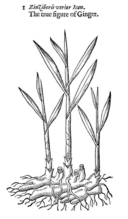 526x900 Botany Ginger Drawing By Granger
