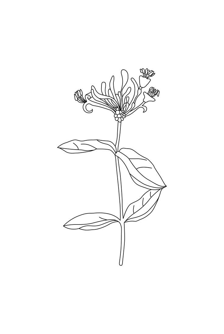 735x1092 Camille Co. Ginger Amp Wild Honeysuckle Botanical Drawing By Design