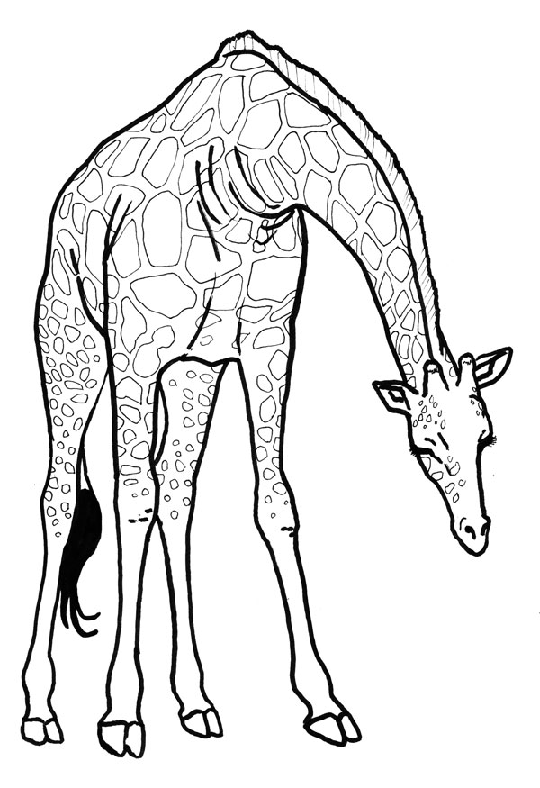 600x875 Drawing Silvercrossfox