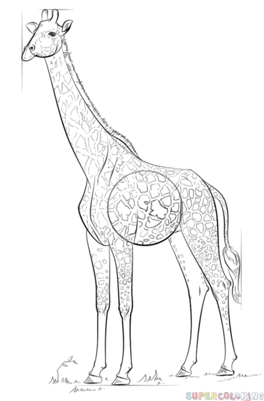 378x575 How To Draw A Realistic Giraffe Step By Step Drawing Tutorials