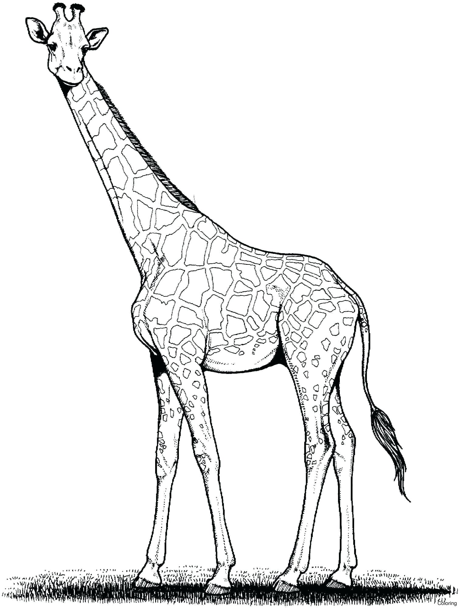 Giraffe Drawing Cartoon at GetDrawings | Free download