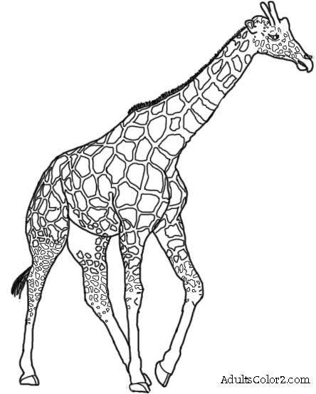 444x553 Giraffe Drawing Giraffe Image Drawing