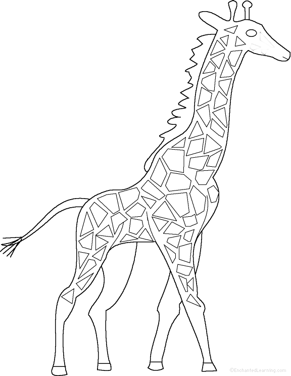 576x744 Giraffes