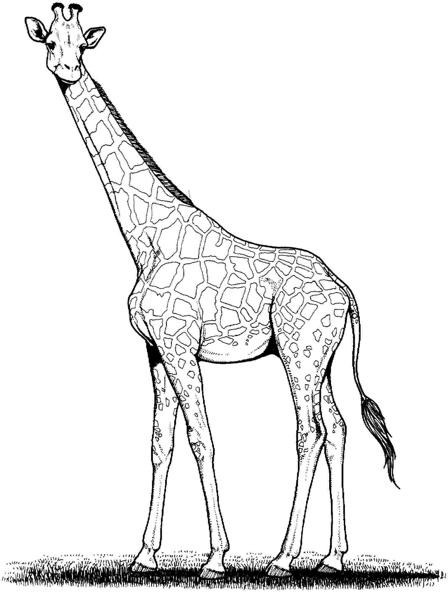 1512x2000 Giraffe Drawing