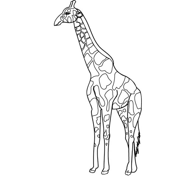 600x600 Giraffe