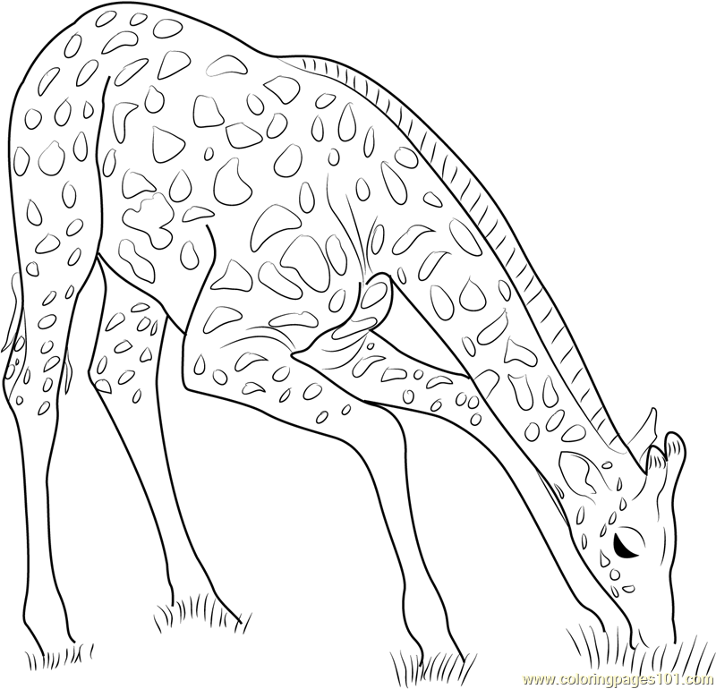800x770 Giraffe Eating Grass Coloring Page