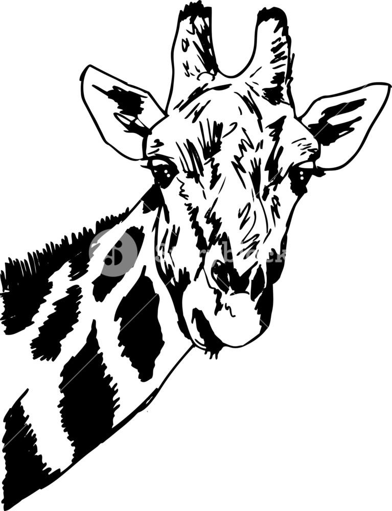 767x1000 Sketch Of Giraffe Head. Vector Illustration Royalty Free Stock