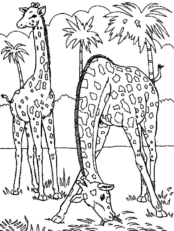 600x798 Two Giraffe Eating Grass Coloring Page