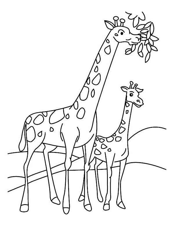 600x776 giraffe eating leaves coloring page