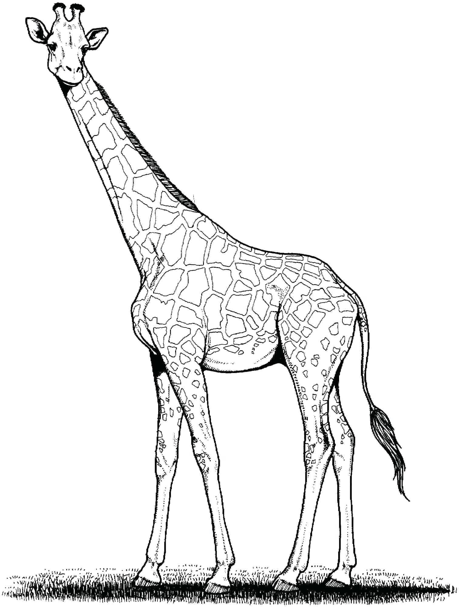 1512x2000 Coloring Giraffe Coloring Page