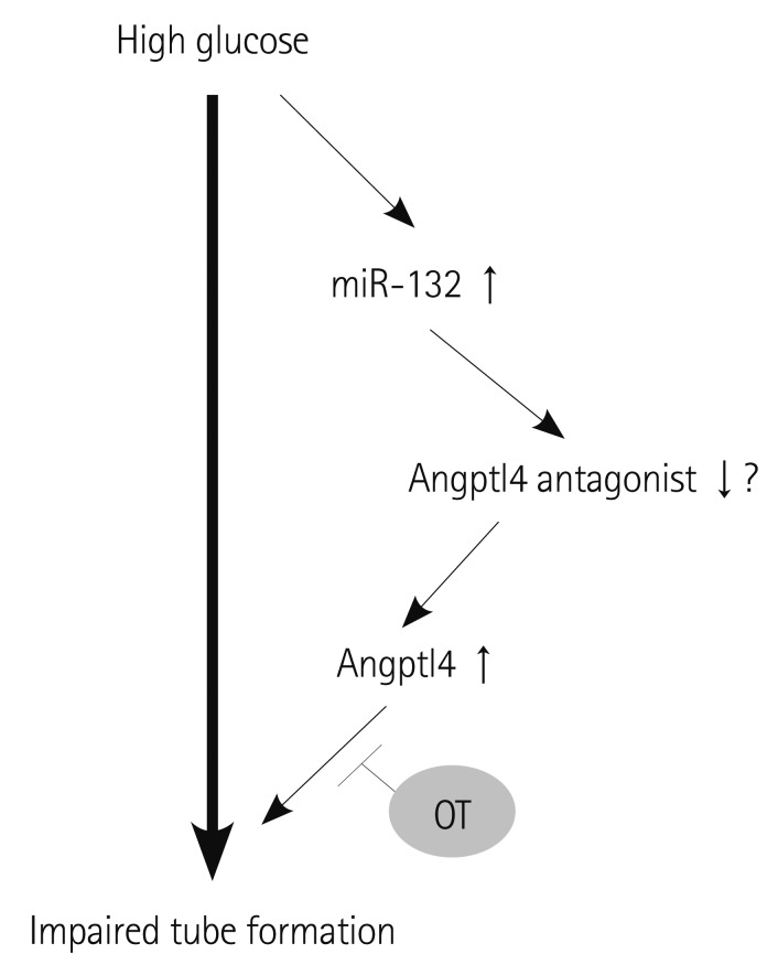 706x884 A Proposed Mechanism For Impaired Angiogenesis By High Glucose