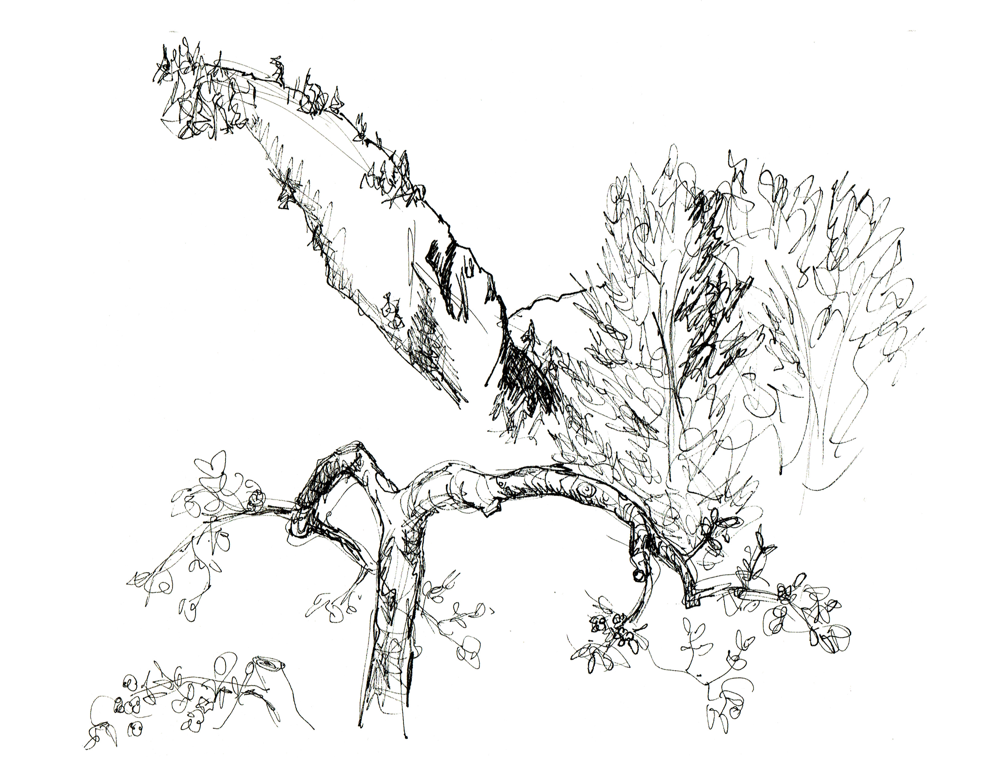 3300x2550 Castlegar View Pen Sketch Shows A Gnarled Apple Tree In