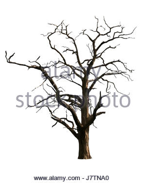300x375 Weathered Oak Trunk, Dead Oak Tree With Gnarled Bark Stock Photo