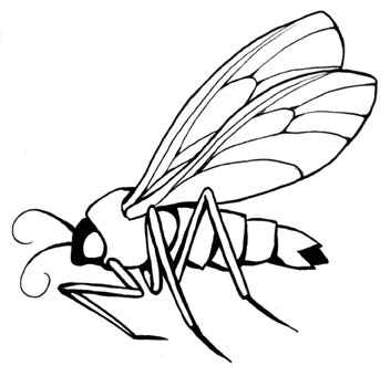 Gnat Drawing