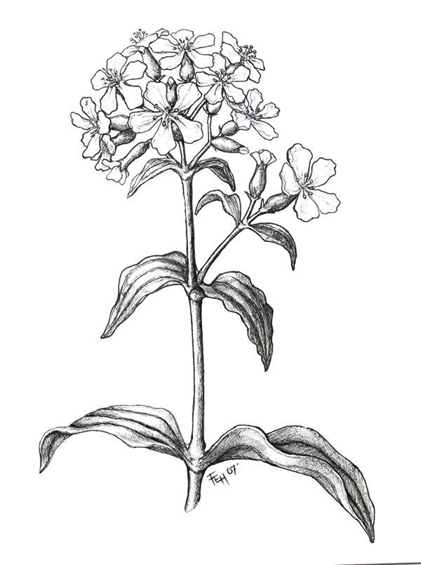 600x805 47 Best Botanica Images On Botanical Drawings