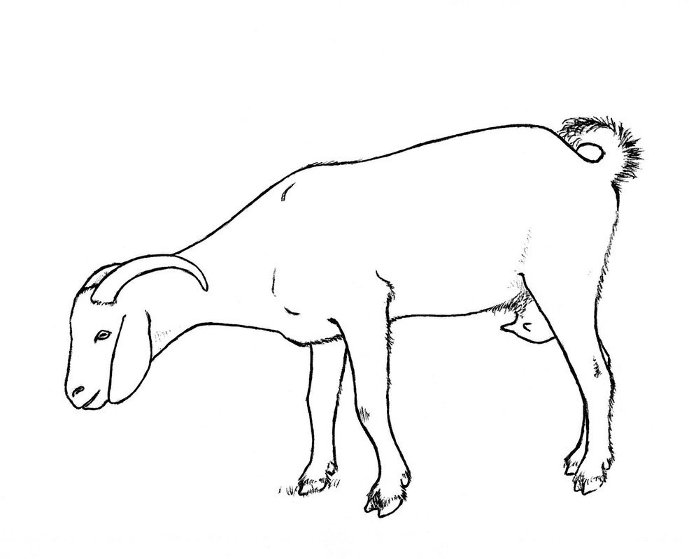 985x800 Drawing Of A Goat