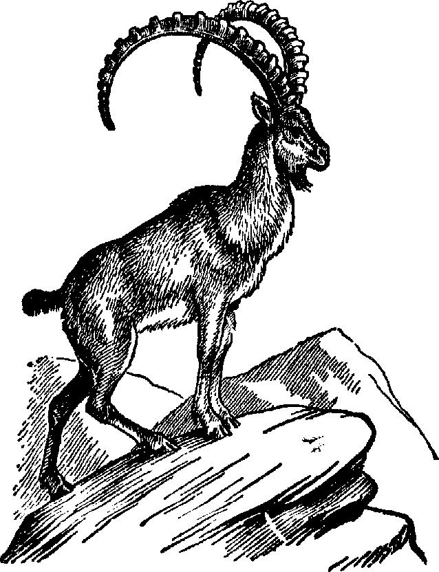 638x832 Drawn Goat Mountain Goat