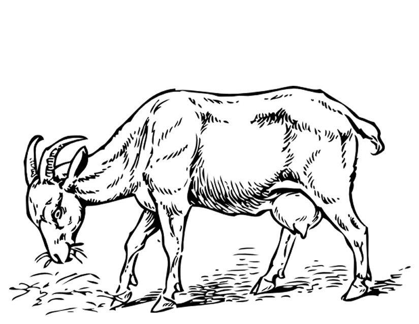 825x638 Goat